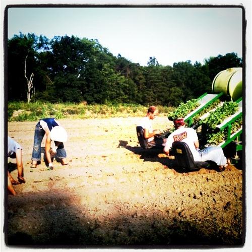 planting collards