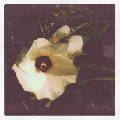 okra blossom insta